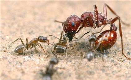Small Argentine Ants Attack A Much Larger Harvester Ant
